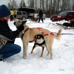 dog sled, dog sled race, deer river mn