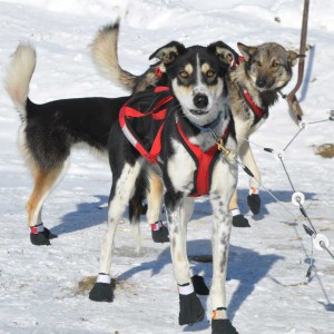 white oak dog sled race, alaskan huskies, dogs, deer river mn