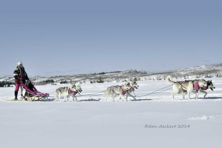 musher, deer river sled dog race